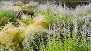 Resultado de imagen para nassella tenuissima