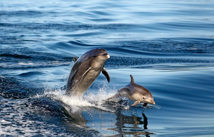 Mum and juvenile bottlenose dolphins on a stunning autumn morning - Picton, Marlborough Sounds, New Zealand.