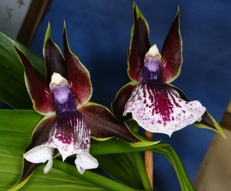 17 Best Images About Animal Look A Like Orchids On Pinterest Orchid Flowers Monkey