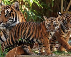 Don't Clearcut Critical Tiger Habitat! | The Bengal Tiger is one of the world's most beautiful and iconic species, but it is also one of the most endangered. In India, fewer than 1,500 of these great cats exist in the wild, and their numbers are continuing to plummet due to poaching, habitat destruction, and conflicts with humans. At this rate, the tiger will be extinct in the wild within a few decades. Click for details and please SIGN and share petition. Thanks.