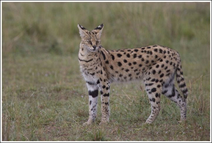 The serval has the longest legs of any cat. Photo: Flickr/Martha de Jong-Lantink