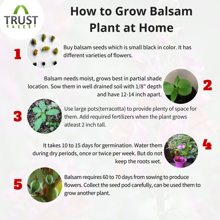 How To Grow #balsam Plant In Your Home Garden?