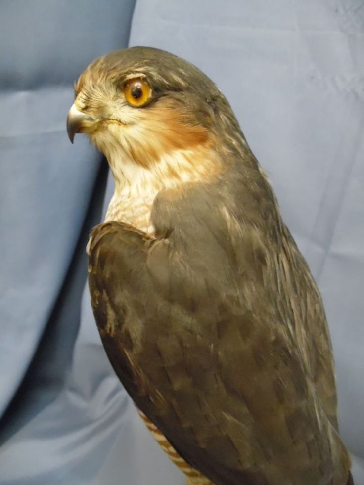 Antique Taxidermy Categories