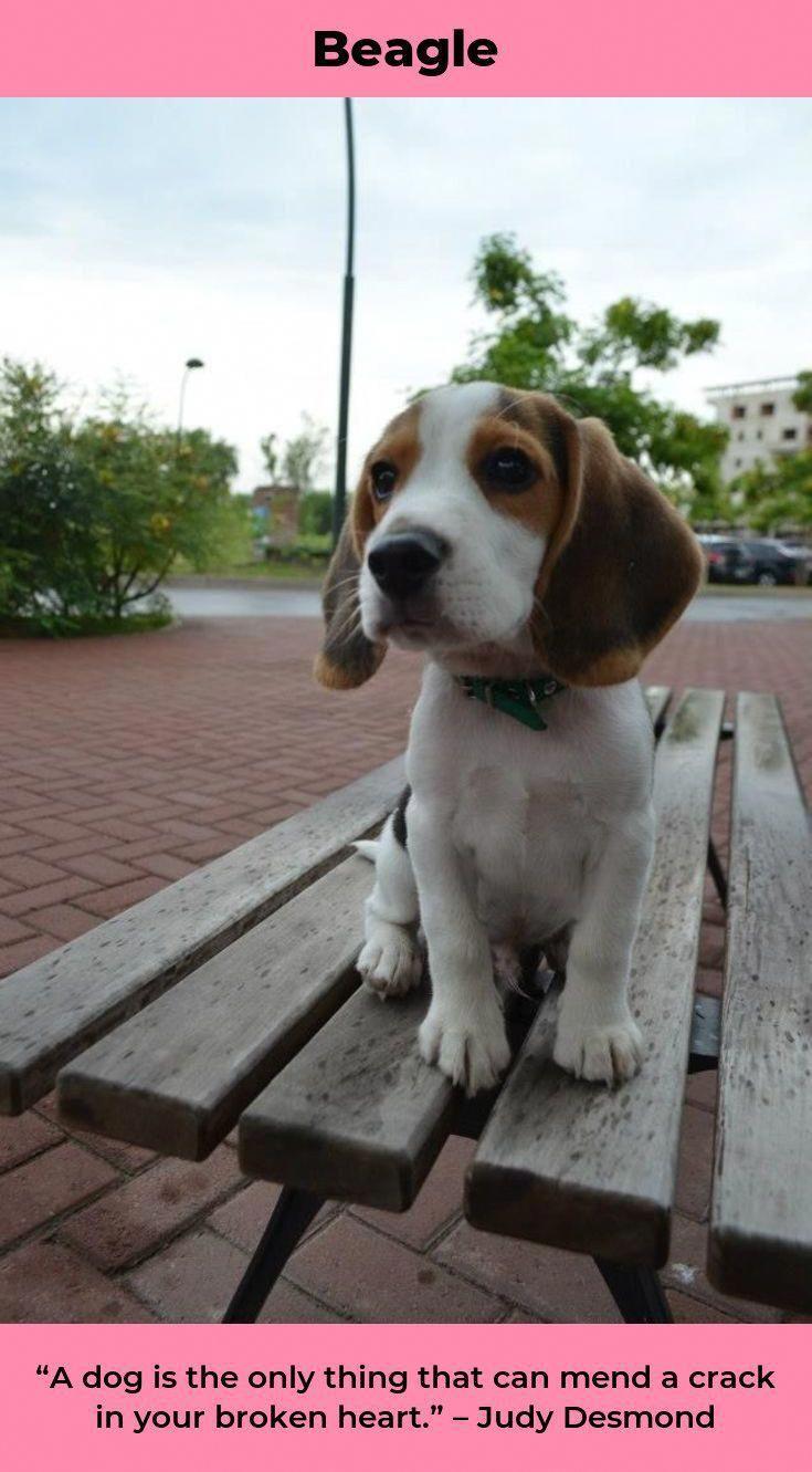 Discover The Happy Beagle Exercise Needs Beaglebaby Beaglelovers