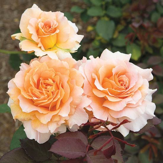 Honey Perfume This award-winning floribunda rose bears beautiful 4-inch-wide, strongly fragrant, apricot-yellow blooms that appear in clusters. It's compact, too, and offers good resistance to powdery mildew and rose rust. Size: To 4 feet tall and 3 feet wide Zones: 5-9
