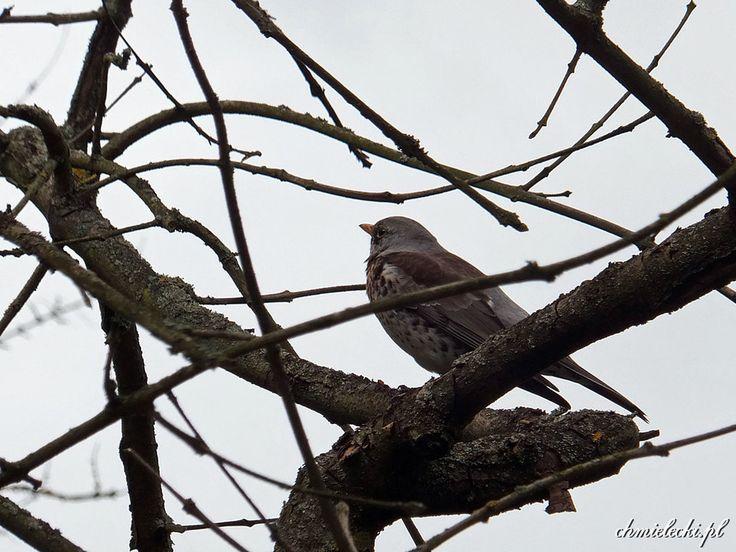 Kwiczoł (Turdus pilaris)