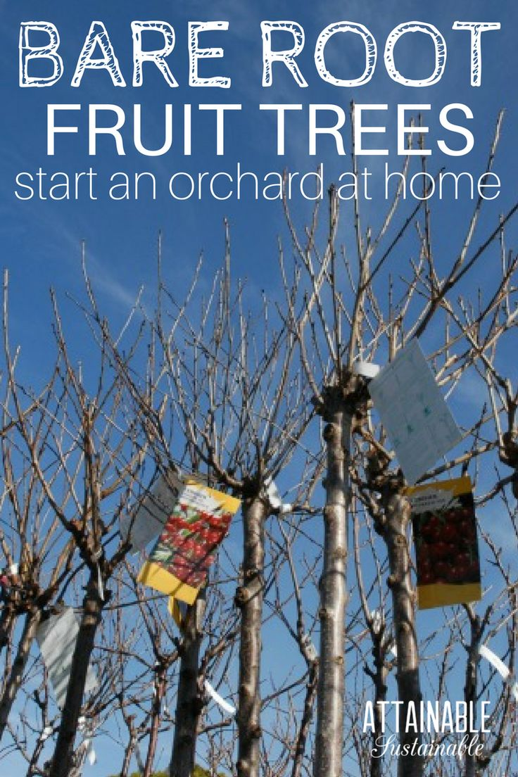 what you need to know about planting bare root fruit trees