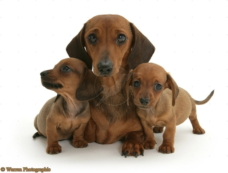 dachshund dogs | Dachshund mother and puppies photo - WP09696