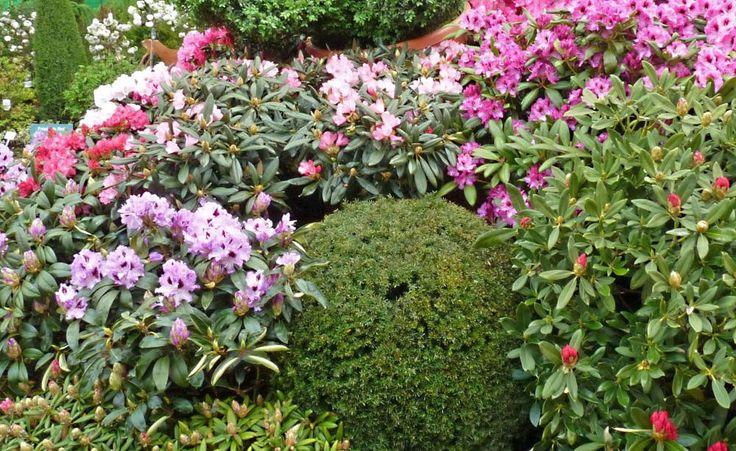 So düngen Sie Ihren Rhododendron -  Der Rhododendron reagiert auf hohe Kalkgehalte sehr empfindlich und verträgt deshalb auch nicht jeden Dünger. Hier lesen Sie, wann, wie und womit man die Blütensträucher düngen sollte.