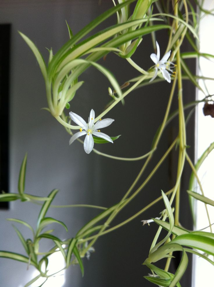 Divide a spider plant spider plants and plants 7 uncommon indoor plants
