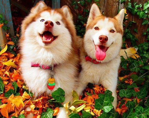 752 best Siberian Huskies images on Pinterest