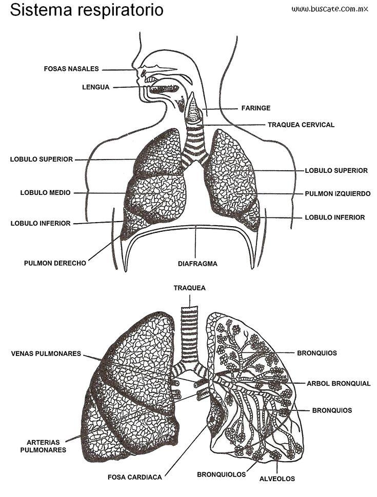 Mejores 155 imágenes de Anatomía Humana. Human anatomy. en Pinterest ...