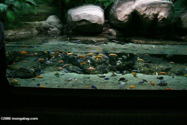 Malawi cichlid tank at the shanghai aquarium paludariums for Cichlid fish tank