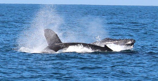 Join ALL SEA CHARTERS for the ultimate Western Australian whale watching experience departing from the iconic Busselton Jetty. One of the greatest land marks in the world!