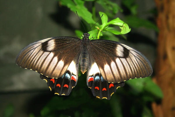 Aussie Butterfly