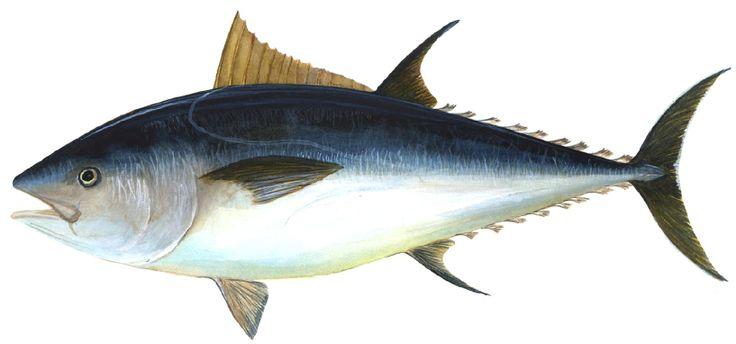 Atlantic bluefin tuna #bluefintuna #tuna #bluefin #atlanticbluefin