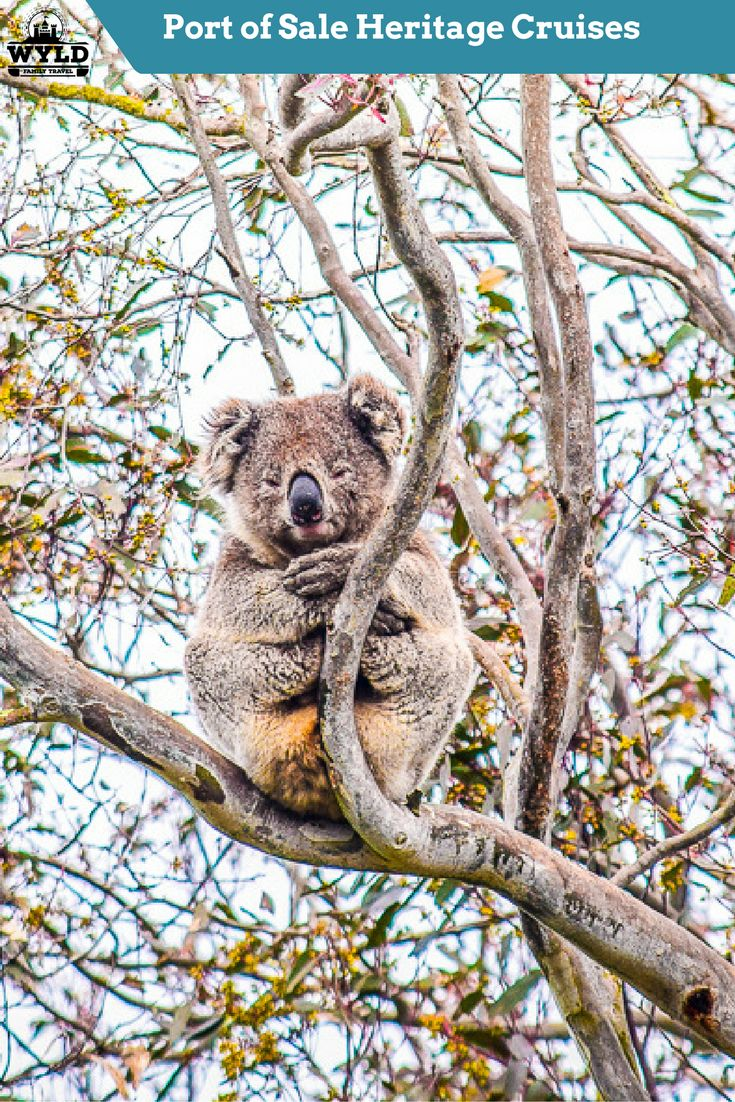 For me, the real highlight was the Koala's, Yes, Koala's sitting high in their gum trees on the banks eating leaves and sleeping. No matter how many times you see this iconic Australian animal it is always an amazing experience. In its natural habitat, the small grey bears are hard to spot in the big leafy gum trees