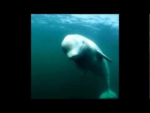 Ikan Paus Beluga Delphinapterus leucas Bicara http://jurnal.kesimpulan.com/2012/10/ikan-paus-beluga-delphinapterus-leucas.html