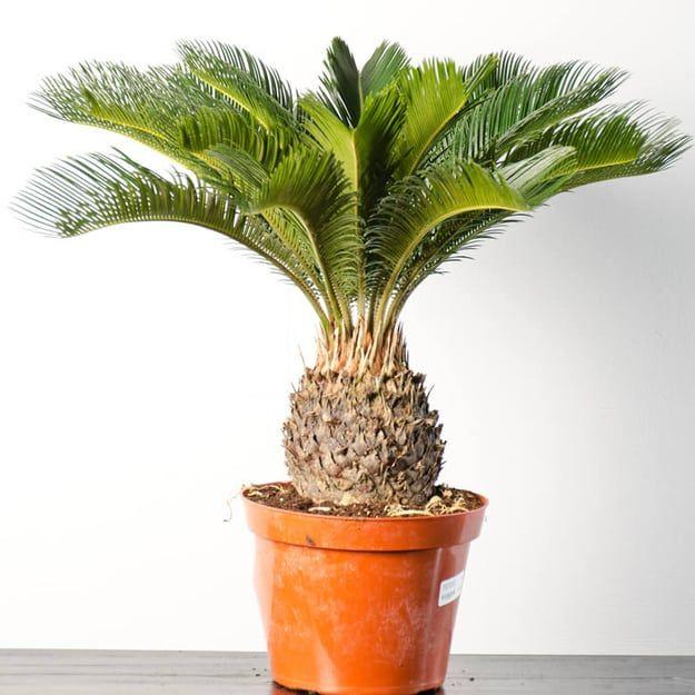 646d3e164fb6b2decc8fa8d3f5a7a7af--palm-plants-indoor-plants Palm Like Houseplants on palm border, palm bamboo, palm beetle, palm roses, palm rats, palm drawing, palm flowers, palm tr, palm chamaedorea seifrizii, palm trees, palm vector, palm leaf chickee, palm christmas, palm shoot, palm pattern, palm leaf cut out, palm diagram, palm shrubs, palm seeds, palm bonsai,