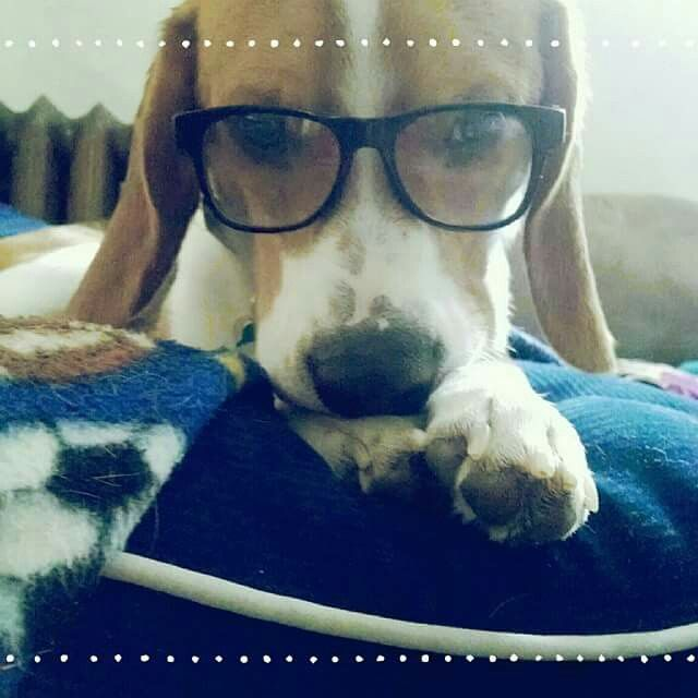 My own personal Mr Peabody #beagle #puppy #cute