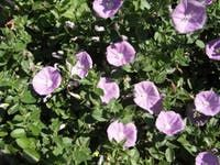 Learn about the Ground Morning Glory plant of Convolvulus sabatius genus. Search over 7,000 plants in our plant guide. See what to plant when thanks to our seasonal gardening guide and plant finder so your flowers and vegetables look amazing whatever the climate.