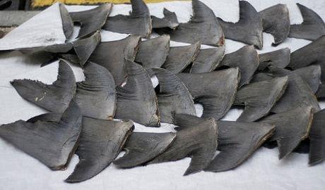 Les avions cargo hongkongais ne transporteront plus d'ailerons de requins
