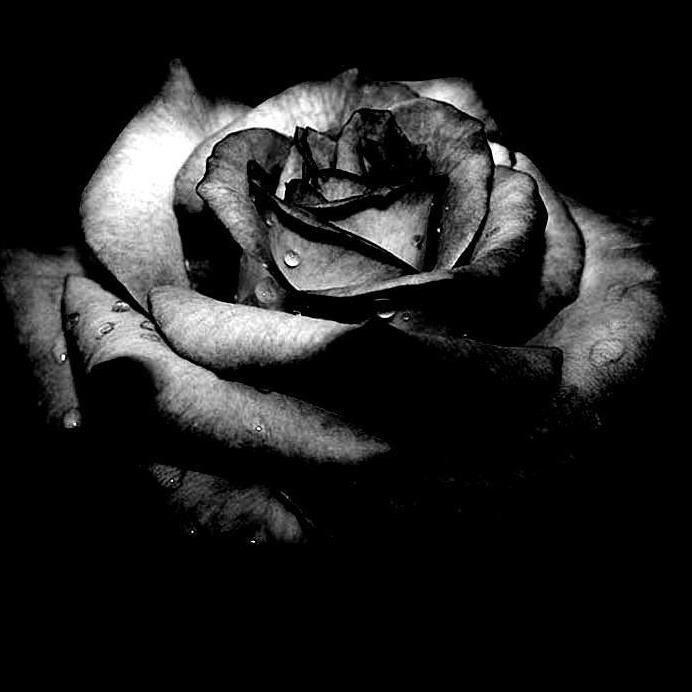 Black Rose Wallpapers Beautiful Roses HD Wallpaper For Free Of