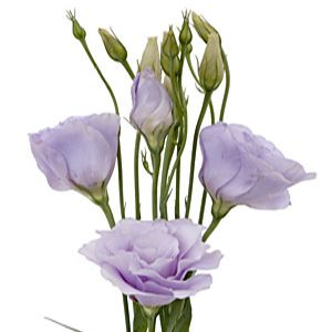 Lavender Lisianthus Flower papery texture and color works perfectly for vintage look