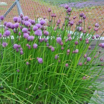 Allium schoenoprasum Gräslök