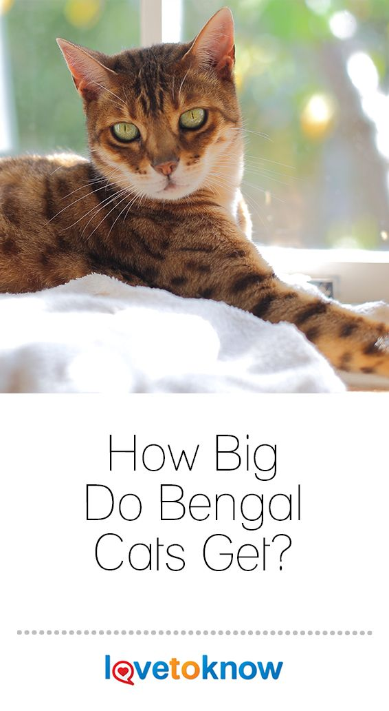How Big Do Bengal Cats Get Bengal Cat Cat Breeds Bengal Cat