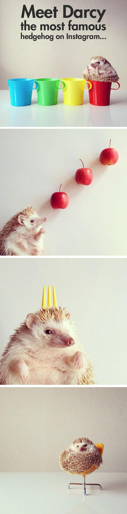 Darcy, the most famous hedgehog on the Internet…