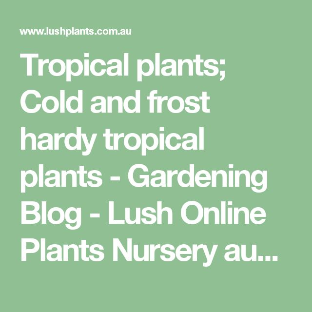Tropical plants; Cold and frost hardy tropical plants - Gardening Blog - Lush Online Plants Nursery australia - Lush Online Plants Nursery Australia