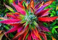 Bubblegum Kush - Marijuana