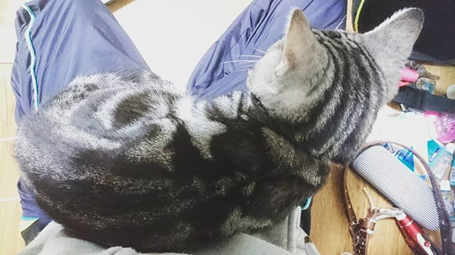 #japan#osaka#family#cat#にゃすんたぐらむ#ネコ部#迷い猫#拾い猫#捨て猫#保護猫#愛猫#家族#まめ助#まめさん#あめしょ#アメショ#アメリカンショートヘア#ひざの上#座ってる#おじゃま虫#可愛いけど#動けない#猫好きさんと繋がりたい#動物好きさんと繋がりたい#無言フォロー歓迎