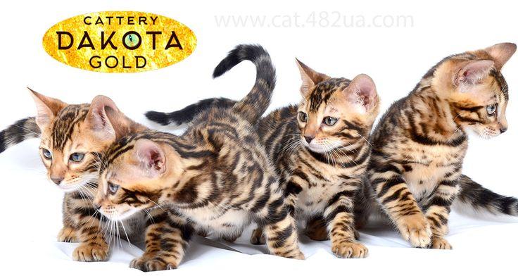 Продаются бенгальские котята - Dakota Gold