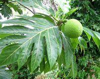 tahiti guide : Recette culinaire : le fruit de l'arbre à pain