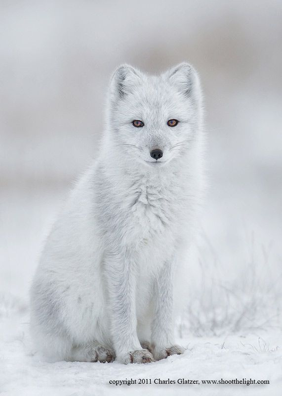 ~~Arctic fox  by Charles Glatzer~~
