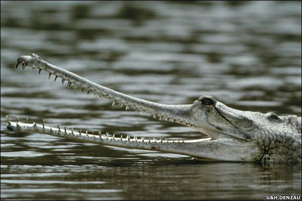 Indian Gharial Crocodile by G&H; Denzau: Despite its substantial size (up to 400 lbs and 20') this critically endangered species has a narrow and fragile jaw and eats fish, not humans. #Crocodile #Indian_Gharial_Crocodile #G_&_H_Denzau
