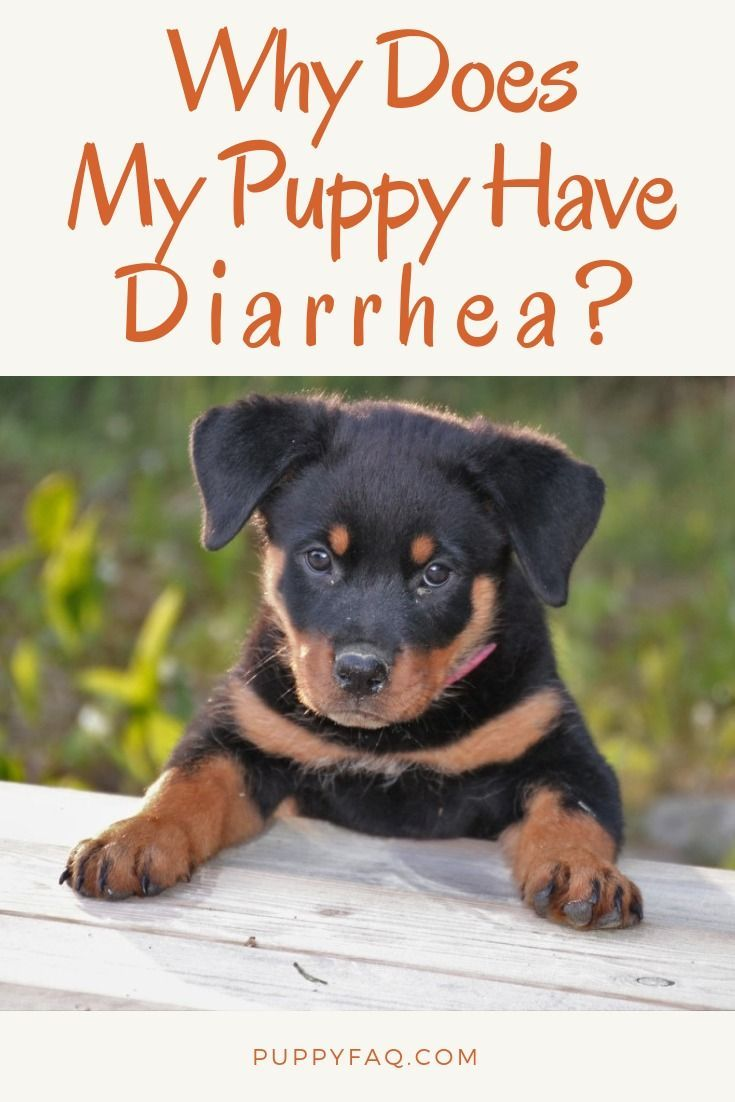 Why Does My New Puppy Have Diarrhea Sick Puppies Puppies