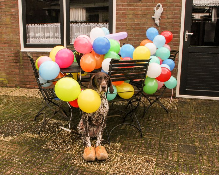 A #balloon a day - day 94 (#Tommy, #Germanshorthairedpointer)