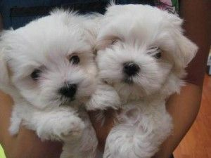 Miniature Maltese Puppies Available for sale.  Beautiful dogs :)