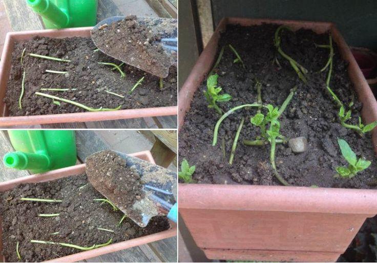 Genellikle taze nanenin yaprakları yenir, sapları atılır. Oysa nanenin saplarını saksıya veya bahçeye ekerek kolayca filizlendirebilirsiniz. Böylece naneye ihtiyacınız olduğunda dalından koparılmış taze nane yiyebilirsiniz. Peki nane sapları nasıl ekilir...