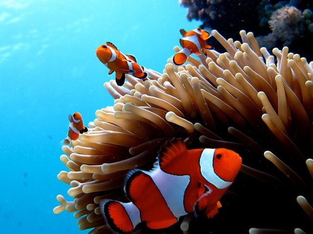 Clownfishes | Coral Reefs | Pinterest