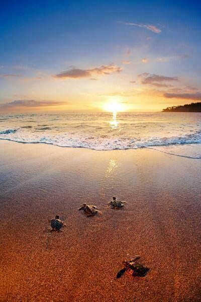 Baby green turtles make their way to the ocean for the first time at sunset, #Indonesia