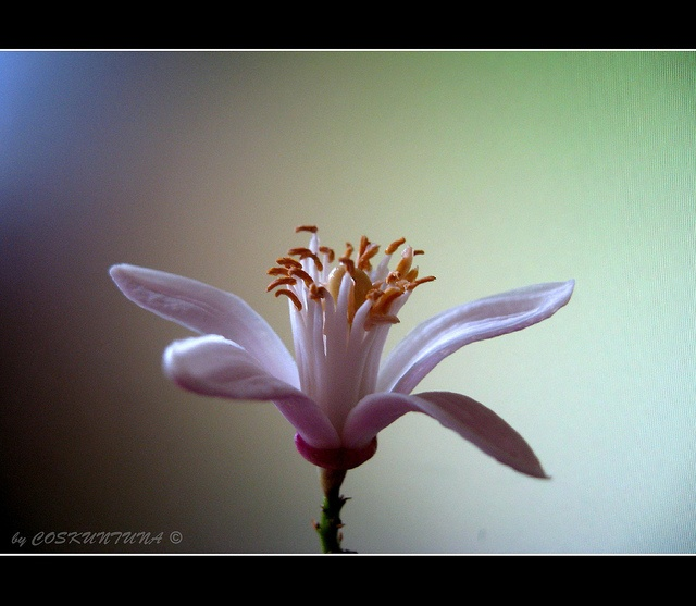 Flor de azahar. Flor de Sevilla