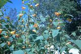Jewelweed: backyard remedy for poison ivy.
