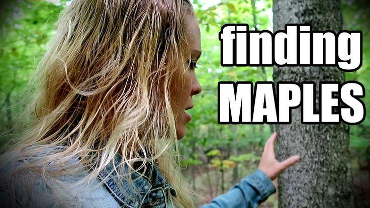 Maple tree identification in winter beginners guide to