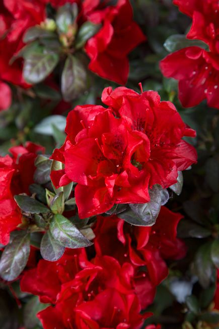 Best 25 azaleas landscaping ideas on pinterest - Care azaleas keep years ...