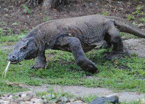 Komodo Dragon - Komodo Island Tour