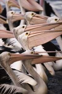 Australian Pelicans, Kangaroo Island, Australia